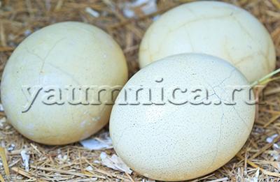 Страусиные яйца польза