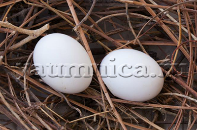 Голубиные яйца польза